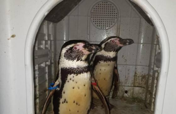 foto policii sa podarilo najst dvoch ukradnutych tucniakov podozriveho zatkli